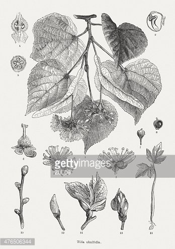 Lime Tree,small-leaved lime...