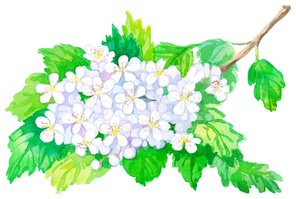 Hawthorn,Flower,May,Art And...