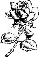 Rose - Flower,Black And Whi...