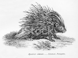 Porcupine,Engraved Image,An...