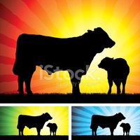 Bull - Animal,Calf,Livestoc...