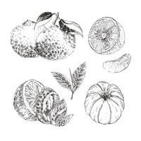 Vintage Ink hand drawn collection of citrus fruits sketch -