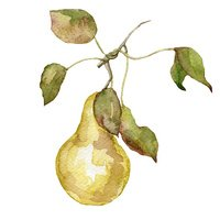 watercolor fruit pear on white background