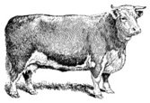 Cow,Engraving,Engraved Imag...