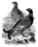 Grouse,Engraved Image,Blac...