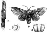 Moth,Old,Engraving,Insect,E...