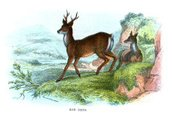 Deer,Roe Deer,Old-fashioned...