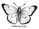 Butterfly - Insect,Engravin...