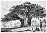 Baobab Tree,Tree,Woodcut,Il...