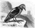 Bird,Engraving,Old-fashione...