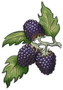 Blackberry,Berry Fruit,Ilus...