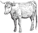Cow,Beef,Meat,Bull - Animal...