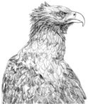 Sketch,Eagle - Bird,Animal,...