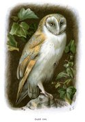Engraved Image,Owl,Painted ...