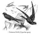 Engraved Image,Bird,Victor...