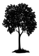 Chestnut Tree,Silhouette,Ou...