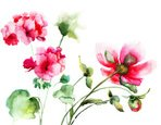 Peony,Watercolor Painting,F...