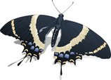 Butterfly - Insect,Swallowt...