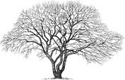 Oak Tree,Tree,Sketch,Plant,...