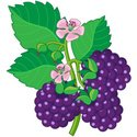 Berry Fruit,Berry,Leaf,Sing...