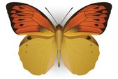 Butterfly - Insect,Yellow,W...
