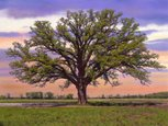 Oak Tree,Missouri,Tree,Shad...
