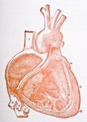 Human Heart,Diagram,Anatomy,P…