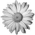 Daisy,Engraving,Engraved Im...