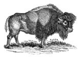 American Bison,Engraving,An...