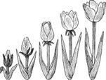 Life Cycle,Cultivated,Growt...