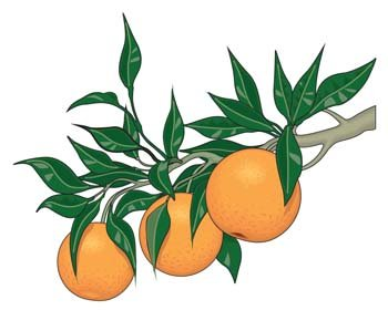 Citrus fruit 3