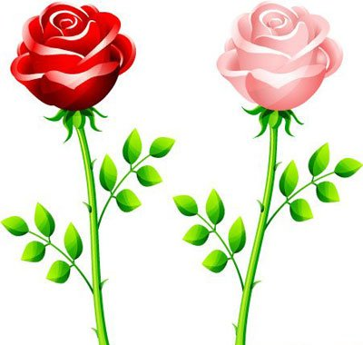 Red and pink rose
