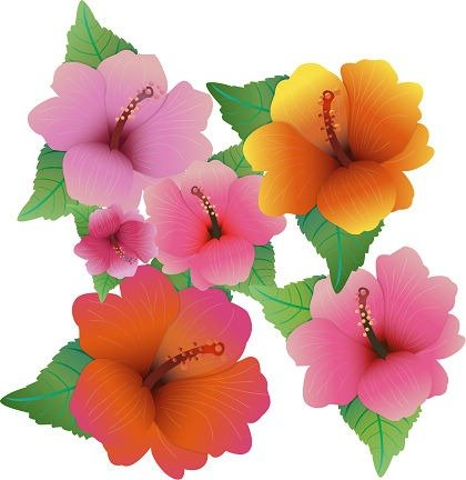 Free Vector Illustration With Hibiscus Flowers