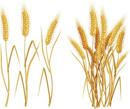 Yellow Wheat 03, Vector File - Clipart.me