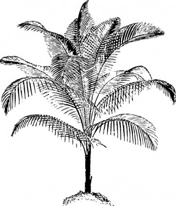 Miniature Coconut Palm