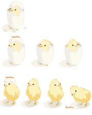Hatching process of chicks