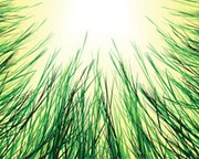 Sungrass